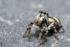 Salticus scenicus1 (Haentjens Raphal - Macropixels) Tags: red macro nature beautiful closeup canon wow eos spider jumping belgium belgique little spiders wildlife arachnid magic ardennes best stunning excellent magical arthropods arthropoda araigne arachnida raphal wallonie araneae arachnide mpe 65mm  vielsalm salticidae   chelicerata eukaryotes bilateria ecdysozoa macrophotographie arthropode stuning  eukaryota 40d saltique salmchateau haentjens macropixels  protostomia bilaterians macrolife salmchteau protostomes ecdysozoans panarthropoda micrura pacrographie myriochelata myriochelatans arachnomorpha cheliceriformes euchelicerata      canonmpe65mmf2815xsupermacro