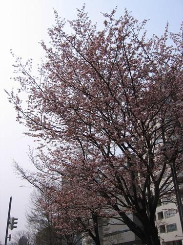 大通公園有櫻花開了