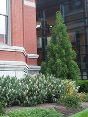 Cryptomeria japonica and Prunus laurocerasus (maggie_and_her_camera) Tags: horticulture johnshopkinshospital cryptomeriajaponica maggieneely