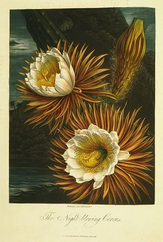 09-Cactus Grandiflorus