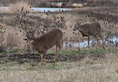 IMG_3096 Columbian white-tailed deer - Odocoileus virginianus leucurus (Jon. D. Anderson) Tags: ridgefieldnwr deer whitetaileddeer columbianwhitetaileddeer odocoileusvirginianus odocoileusvirginianusleucurus endangeredspecies threatenedspecies