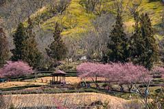 武陵茶園 (Hamster620) Tags: 台灣 taiwan 武陵農場 wulingfarm 樹 tree 植物 plant 花 flower