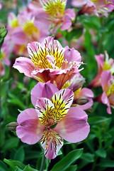 (lyli12) Tags: flower macro fleur nikon toulouse couleur flou d3000