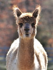 Llama at the Farm