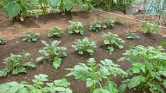 今週の市民農園:ジャガイモ