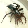 Wrestlemania! (zxgirl) Tags: arachnid parsonspider arachtober07