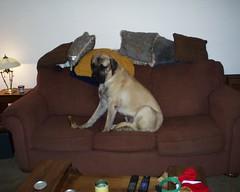 PIC00035 (muslovedogs) Tags: excalibur mastiff