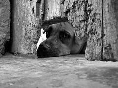 Pensamientos Caninos / Dog Thoughts (Pankcho) Tags: door dog pet cute abandoned blancoynegro face look puppy blackwhite puerta eyes gate sad floor hole venezuela cara caracas perro explore triste ojos c