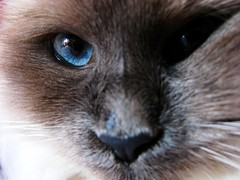 Unique Focus ( LightMirror) Tags: blue pet cats pets nature animals cat canon eyes funny occhi siberian gatti animali colourpoint g9 razza supershot lightmirror bestofcats impressedbeauty ysplix