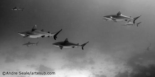 Sharks - Chuuk