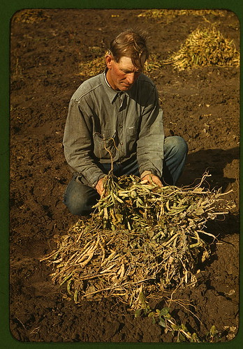 Bill Stagg, homesteader, with pinto beans, Pie Town, New Mexico (LOC) by The Library of Congress.