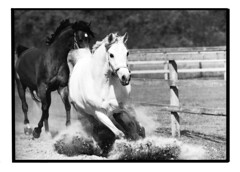 Au grand galop (nathaliehupin) Tags: cheval blanc loh novideo galope photographebruxelles nathaliehupin plantecheval photographeluxembourg photographehainaut photographenamur photographeliege photographemons photographebelgique wwwnathaliehupinbe wwwnathaliehupingraphismebe