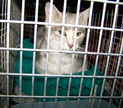 bluecream kitty in trap (Adptus...) Tags: female cat lost friendly stray shelter trap straycat bluecream livetrap humanetrap cattrap adptus bluecreamfemale tomahawktrap