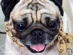 *SMILING PUG* - HAPPY VALENTINE'S DAY, FROM THE SWEETHEART PUG, MEL B  *-* (*SMILING PUG*) Tags: b dog bunny love smile smiling thailand happy holidays bangkok c smiles pug valentine mel valentines pugs buggy puggy k9 bambam    bugboy  bugbaby smilingpug