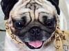 *SMILING PUG* - HAPPY VALENTINE'S DAY, FROM THE SWEETHEART PUG, MEL B  *-* (*SMILING PUG*) Tags: b dog bunny love smile smiling thailand happy holidays bangkok c smiles pug valentine mel valentines pugs buggy puggy k9 bambam กรุงเทพฯ ไทย หมา bugboy สุนัข bugbaby smilingpug ปั๊ก หมาปั๊ก สุนัจ วาเลนไทน์ ลูกสุนัข พันธุ์ปั๊ก หน้าย่น