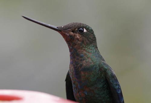 Great Sapphirewing, subadult male