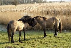 (Astrid van Wesenbeeck photography) Tags: horses netherlands animals wildlife stallions wildhorses paarden oostvaardersplassen konikhorses koniks konikpaarden wildepaardeninnederland