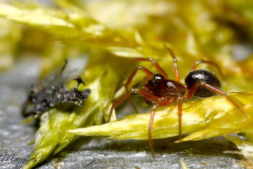 Curious spider....... Troxochrus nasutus