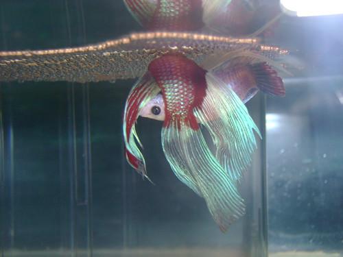 fighter fish tank mates