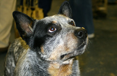 Australian Cattle Dog (Llima) Tags: nyc newyorkcity pet animals living friend display being australia perro cattledog mansbestfriend pastoral creature australiancattledog msg madisonsquaregarden companion champions acd redheeler blueheeler contestants bluey workingdog herdingdog queenslandheeler showdog westminsterdogshow australianheeler hallsheeler