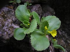 Primula auricula subsp. ciliata (adriano_bruna) Tags: flora botanica valcellina jouf valcolvera palestradiroccia primulacee