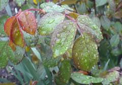 pioggia (Elanorya) Tags: verde foglie natura erba cellulare foglia bella terra acqua rosso pioggia aria vento gocce particolare naturesfinest impressedbeauty