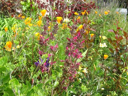 Salvia spathacea, Eschscholzia californica