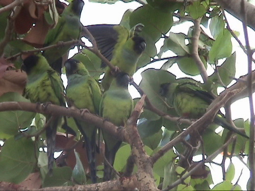 Flock of Black hooded parakeets