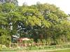 竹山鎮中和里救人老茄苳樹DSCN6025