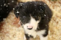 [フリー画像] [動物写真] [哺乳類] [イヌ科] [犬/イヌ] [ボーダー・コリー] [子犬]     [フリー素材]