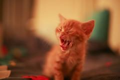 [フリー画像] [動物写真] [哺乳類] [ネコ科] [猫/ネコ] [子猫] [チャトラ] [叫ぶ]    [フリー素材]