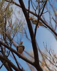 Zebra Finch (Byron Taylor) Tags: zebrafinch finch wildlife birds nature canon canon7d australia outback northernterritory southaustralia