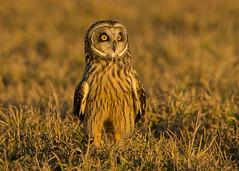 Short-eared Owl Standing (Thomas Muir) Tags: asioflammeus shorteared owl bird woodcounty ohio bowlinggreen tommuir barkingowl d800 nikon 600mm goldenhour