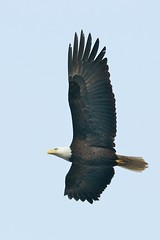 Bald Eagle Mid Flight
