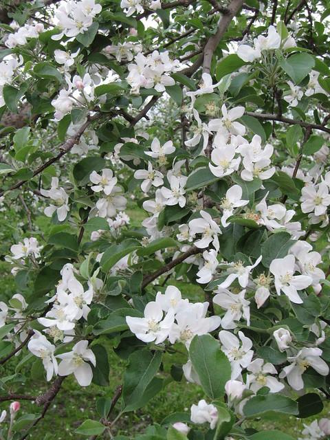 apple flower 2_20110520