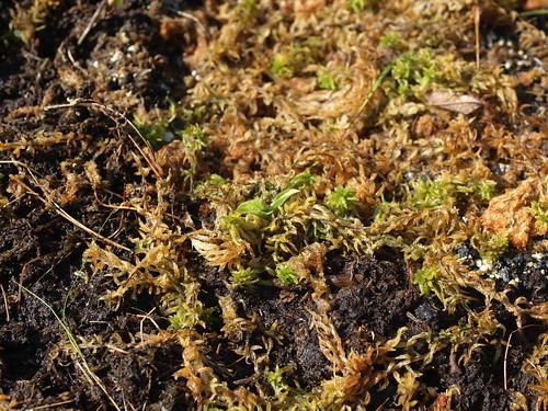 Cypripedium reginae youngling
