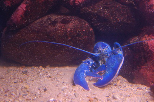 Zhe Blue Lobster Lord, HAS COME BACK!! Dx 1564682704_0492658a9d