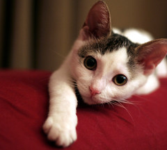 Honey face (mandrake68) Tags: white cute cat kitten spots honey