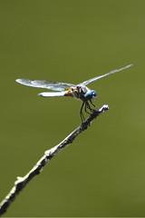 Dragonfly, Mount Auburn Cemetery, Cambridge, MA (flyingibis) Tags: