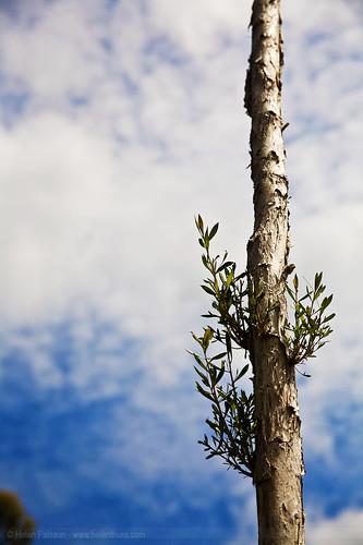 Melaleuca shoots