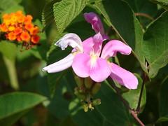 Karvi flower at Bhavangad, Kelve (Konkan Premi) Tags: konkan kokan kelve peshwa konkani thanedistrict chimajiappa bajirao paragpurandare karvi flowersinkonkan bhavangad northankonkan marathaportuguesebattle