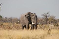 Lone Bull Elephant (rpgold) Tags: africa elephant 20d animals canon eos gold wildlife canon20d canoneos20d botswana okavango wildanimals okavangodelta nxabega rachellepaul rpgold