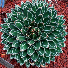 Squared Circle Agave (Vicki's Pics) Tags: red white green circle washingtondc explore round squaredcircle agave endangered agavaceae usbotanicgarden threatenedspecies iucn victoriareginae interestingness50 interestingness44 interestingness172 interestingness129 i500 queenvictoriaagave
