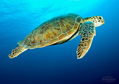 lgrhdtrtle8580pws (gerb) Tags: ocean blue topf25 water beautiful topv111 510fav wow ilovenature nice topv555 topv333 bravo underwater 500v20f turtle topv1111 topv999 scuba fv5 topv5555 pi wildanimal 1224mmf4g topv777 d200 topv3333 animalplanet bonaire loggerhead aquatica naturesfinest parkstock specanimal pfo tvx abigfave colorphotoaward photofaceoffwinner photofaceoffplatinum bfgreatesthits bflfgreatesthits theperfectphotographer goldwildlife pfogold pfop may08pfobrackets may08pfoplatinum