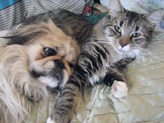 Xiang and Big Cat (jrsjewels) Tags: family dog pets cat feline canine loveit pekingese