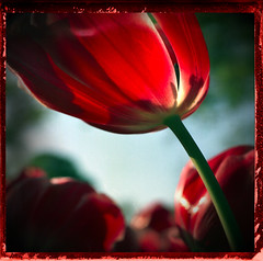 Red Flower (crowt59) Tags: red flower dallas texas tulip naturesfinest intrigued anawesomeshot crowt59 clevercreativecaptures rotrossorougerood