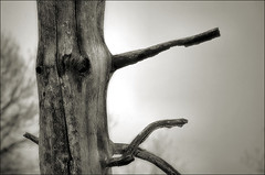 Pinotxo / Pinocchio (Ferran.) Tags: wood bw snow tree nature natura catalonia arbres pinocchio arbre pyrenees neu ripolles queralbs pinotxo bwart