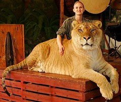 Hercules the Liger by Dayngr