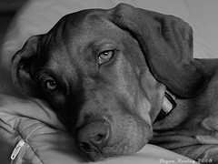 It's all in the eyes (BryonRealey) Tags: puppy fuji rosie vizsla bryon breal realey photofaceoff