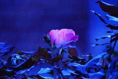 Love in the moon light (ineedathis) Tags: flowers rose night rosegarden soe blueribbonwinner supershot outstandingshots abigfave impressedbeauty superbmasterpiece infinestyle diamondclassphotographer top20blue ysplix excellentphotographer theunforgettablepictures betterthangood theperfectphotographer goldstaraward
